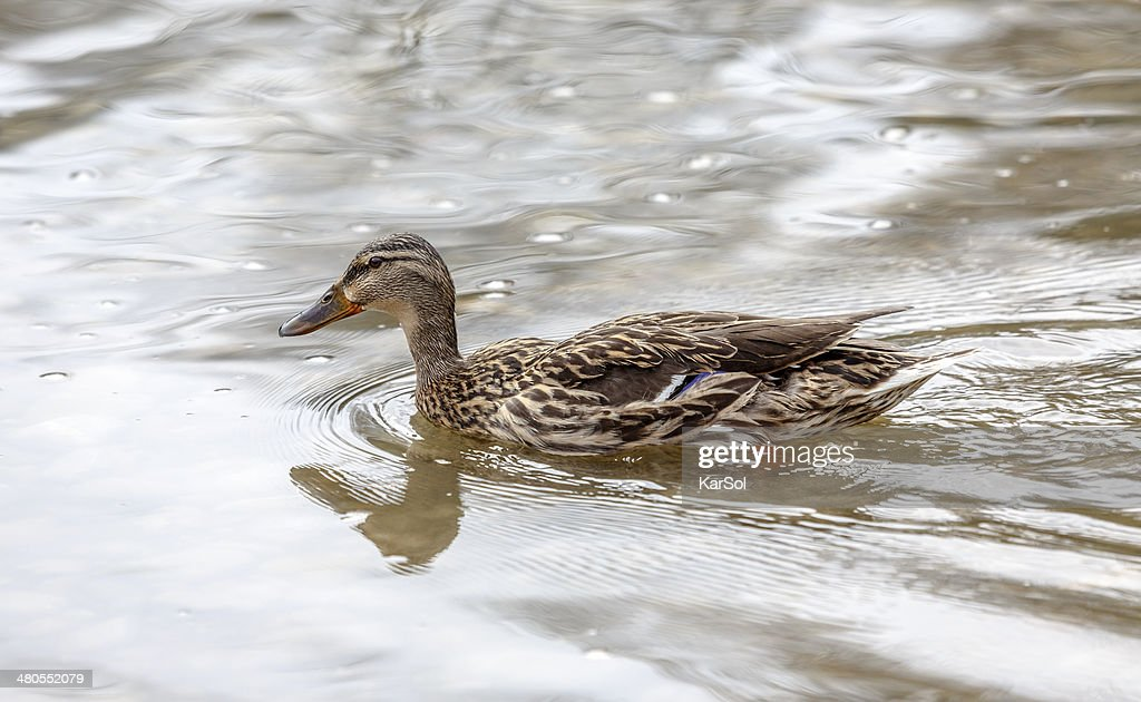 wild duck in the lake : Stock Photo