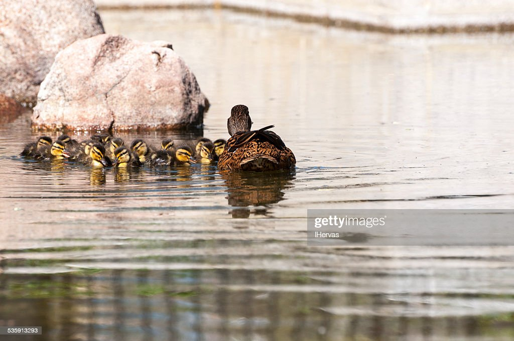 Patos selvagens, Anas platyrhynchos : Foto de stock