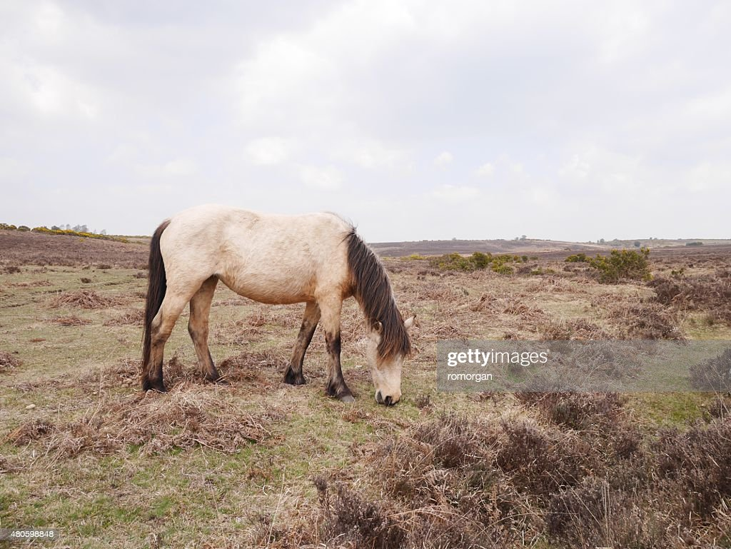 wild dun horse grazing new forest moor in spring : Stock Photo