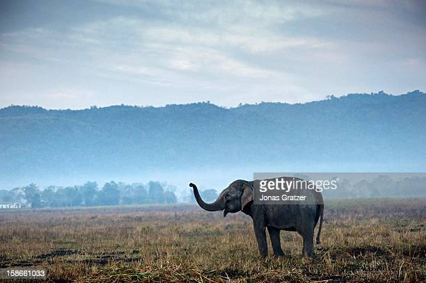 A wild elephant in Kaziranga National Park which is situated on the south side of the Brahmaputra River below Mikirbergen The area consists of...