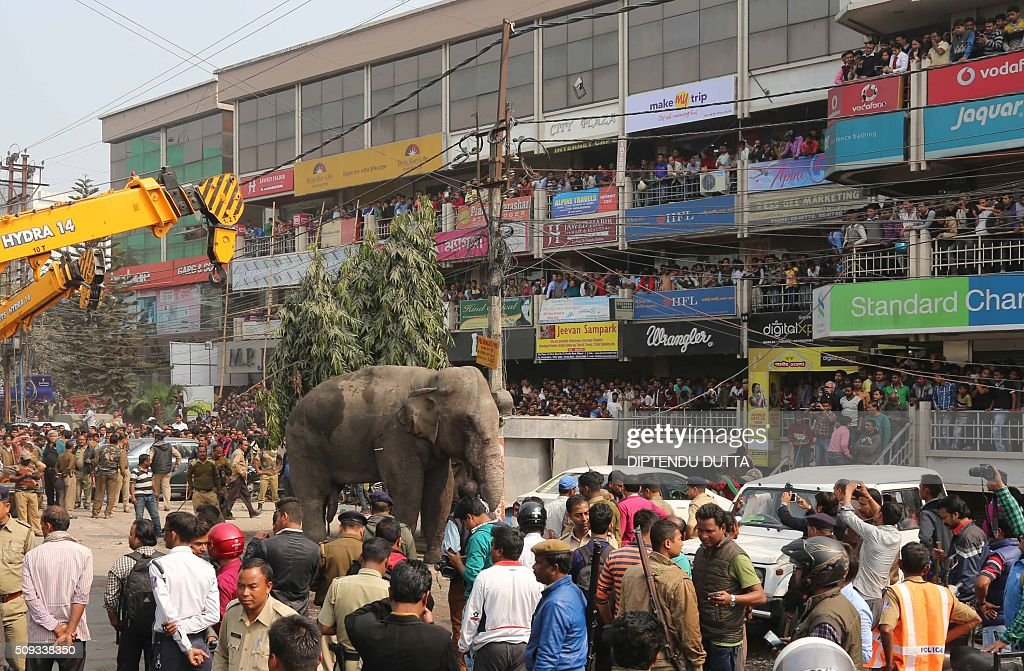 A wild elephant stands on a busy street after being tranquilised in Siliguri on February 10, 2016. The adult male elephant was tranquilised and captured by wildlife officials and transported to a nearby forest. AFP PHOTO / Diptendu DUTTA / AFP / DIPTENDU DUTTA