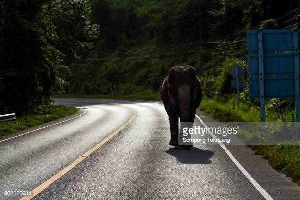 Wild elephant walking along the road, Thailand.