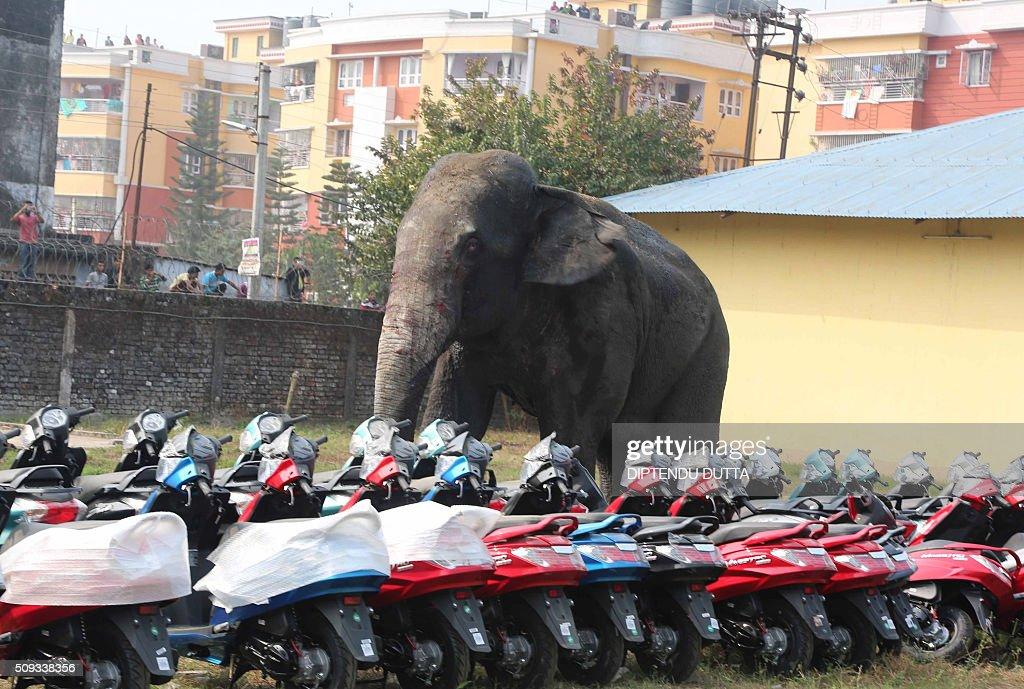 A wild elephant walks through Siliguri on February 10, 2016. The adult male elephant was tranquilised and captured by wildlife officials and transported to a nearby forest. AFP PHOTO / Diptendu DUTTA / AFP / DIPTENDU DUTTA