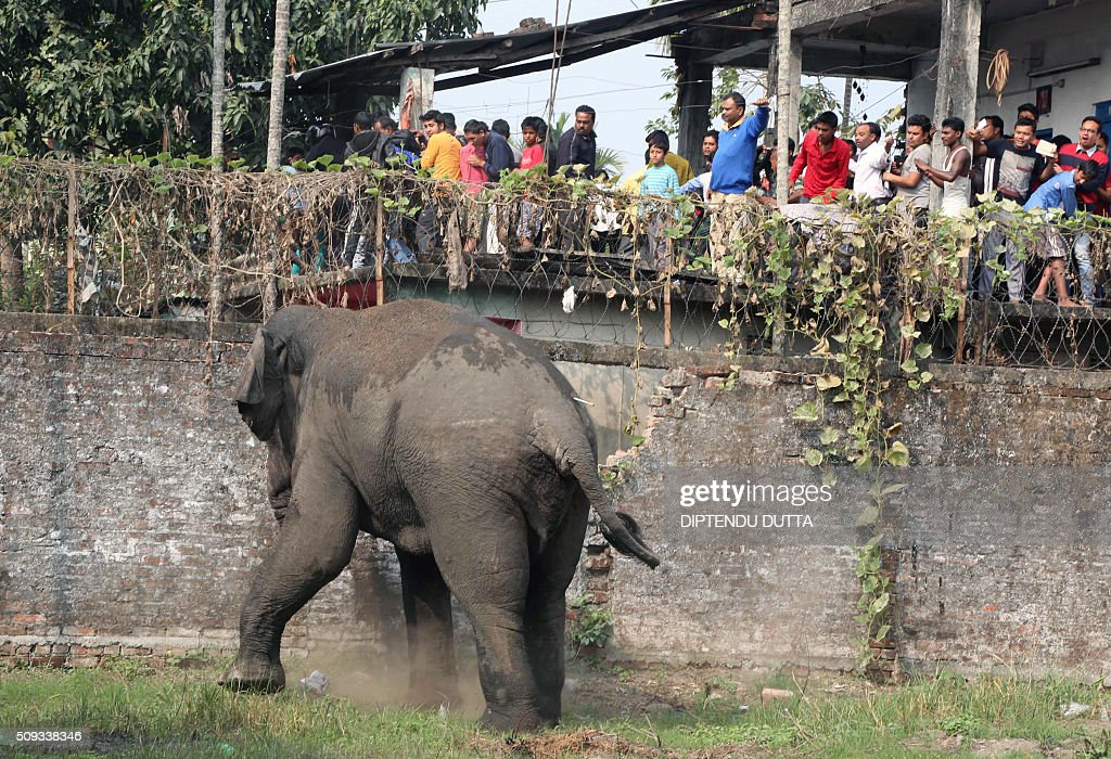 A wild elephant with a tranquliser dart in its back side walks through Siliguri on February 10, 2016. The adult male elephant was tranquilised and captured by wildlife officials and transported to a nearby forest. AFP PHOTO / Diptendu DUTTA / AFP / DIPTENDU DUTTA