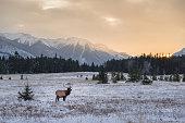 Wild elk in the Banff National Park