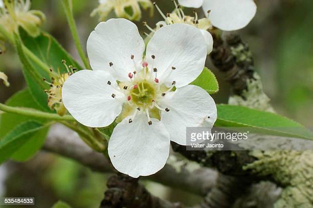 Wild European Pears (Pyrus communis)