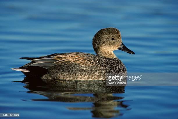 Wild female falcated teal duck Anas falcata Pond in Tucson Arizona USA