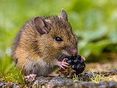 Wild wood mouse eating raspberry