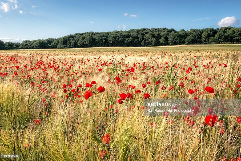 Wild Flower Poppy Field Red Landscape Field Summer