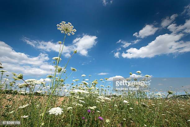 Wild flowers and a blue sky in Baden-Wurttemberg, Germany, Europe