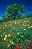 Wild flowers growing in meadow near Fredericksburg Texas U.S.A.