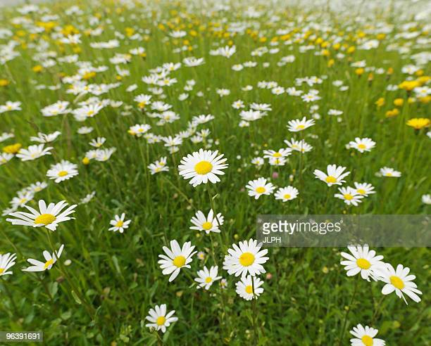 Wild flowers in field
