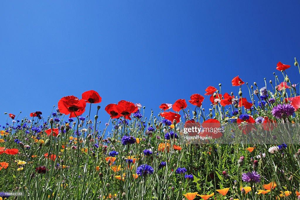 Wild flowers in field, Savoie, France