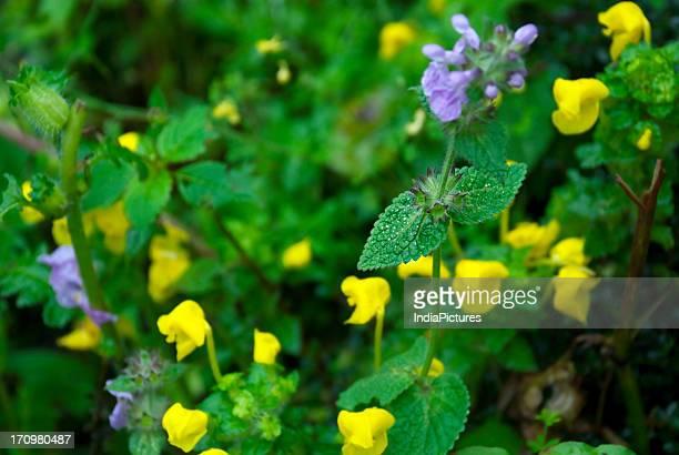 Wild flowers in the Valley of Flowers Bhyundar valley near Hemkund Sahib Garhwal Himalayas Uttarakhand India