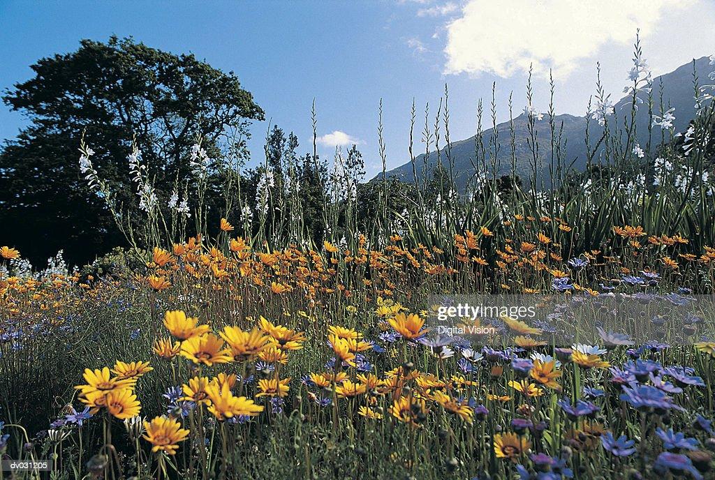 Wild flowers, Kirstenbosch, South Africa