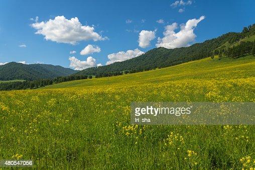 Prado salvaje de flores de las montañas : Foto de stock