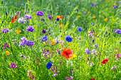 Field of multicolored wild flowers