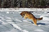 Wild fox jumping in snow