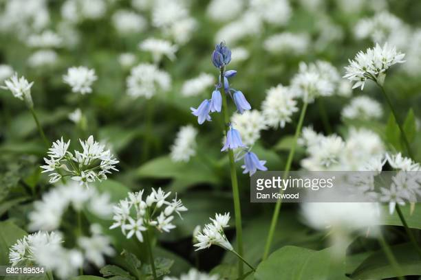 Wild Garlic covers a woodland floor on May 10 2017 in Scunthorpe England Wild garlic which is currently flowering is growing in popularity amongst...