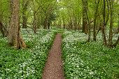 Wild Garlic ramsons alongside a pathway in an English Wood