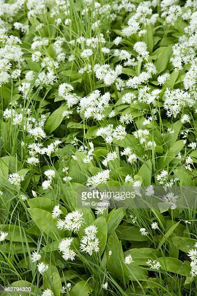 Wild Garlic Ramsons Buckrams or Wood Garlic Allium ursinum in pungent bloom as Spring turns to Summer Somerset UK