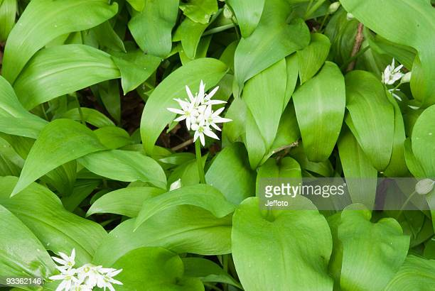 Wilder Knoblauch (Allium Ursinum) mit weißen Blumen