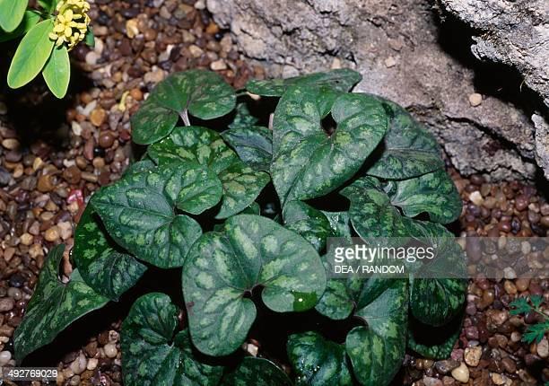 Wild ginger Aristolochiaceae