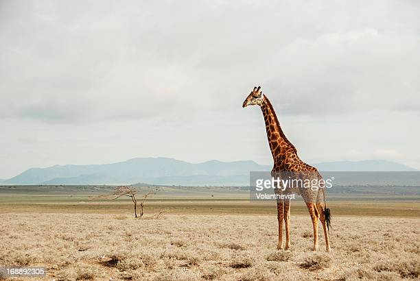 Wild giraffe in the unending plains of Serengeti