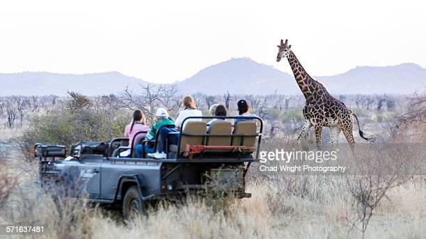 A wild giraffe walking past a safari truck