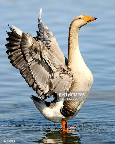 Wild Goose Preening and Drying its Wings