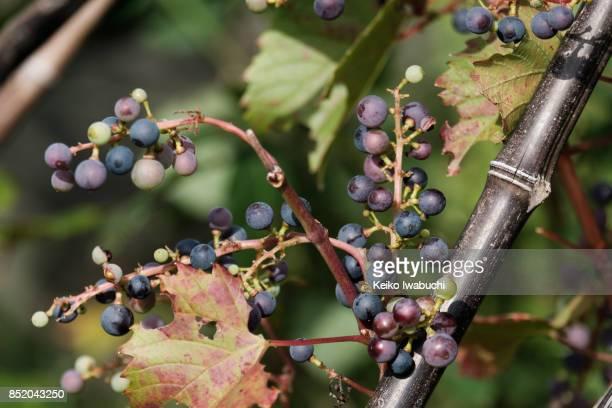 Wild grape in home gardening