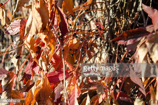Wild grape red leaves : Stock Photo