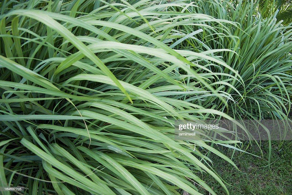 wild grass or wildgrass; lemongrass