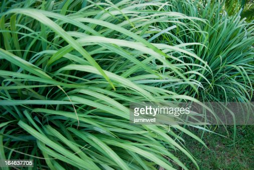 wild grass or wildgrass; lemongrass