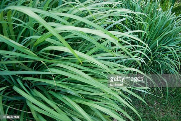 Erba selvatica o wildgrass; Citronella