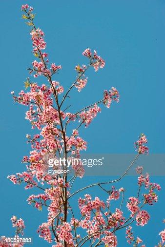 Wild Himalayan cherry blooming : Stock Photo