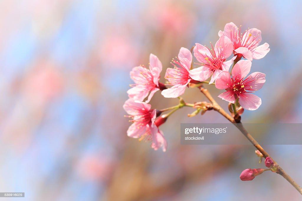 Wild del himalaya Cherry (Prunus cerasoides) : Foto de stock