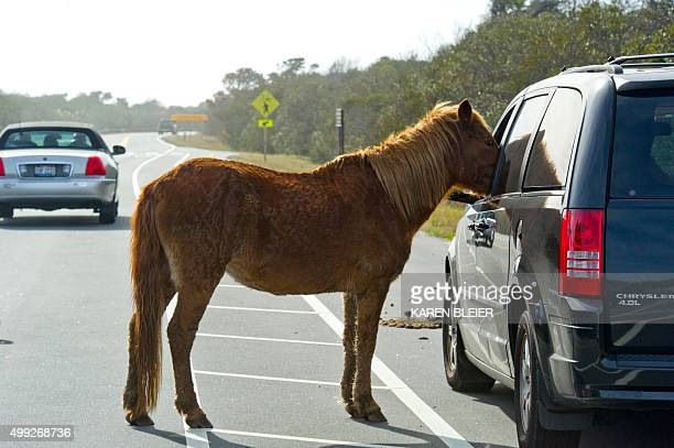 A wild horse get up close to visitors to the Assateague Island National Seashore near Berlin Maryland on November 27 2015 Many tourists ignore...