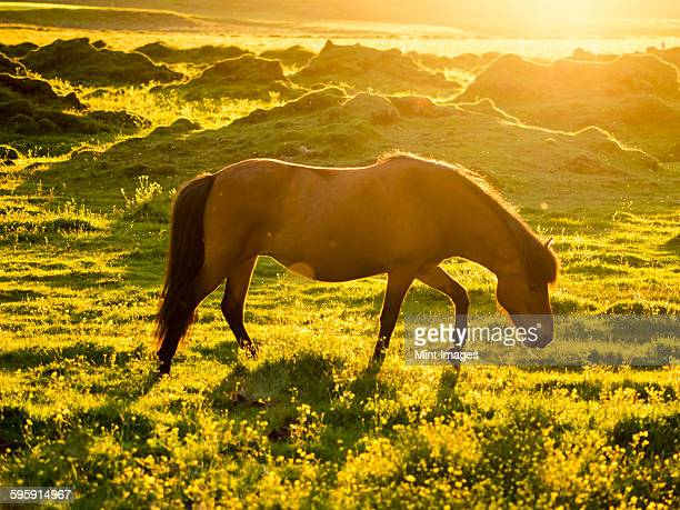 A wild horse grazing in the sunlight of the midnight sun in summer.