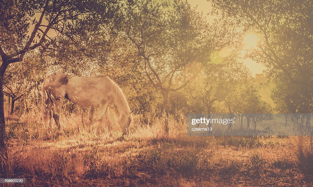 Wild horse in olive orchard : Stock Photo