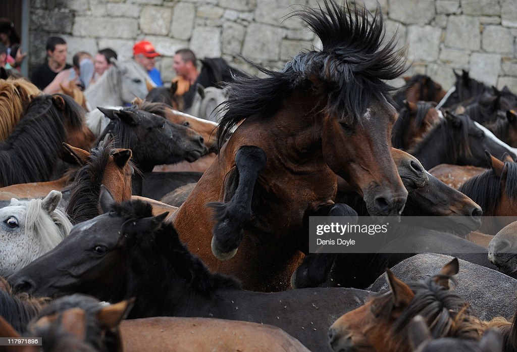 A wild horse leaps up during the Rapa das Bestas (shearing of the beasts) festival on July 2, 2011 in Sabucedo, Spain. Hundreds of wild horses are rounded up from the mountains and trimmed and marked in the corral.