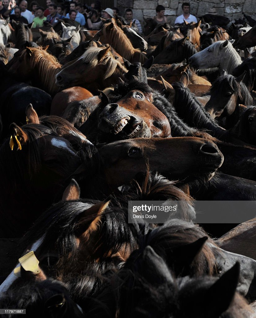 A wild horse shows its teeth during the Rapa das Bestas (shearing of the beasts) festival on July 2, 2011 in Sabucedo, Spain. Hundreds of wild horses are rounded up from the mountains and trimmed and marked in the corral.