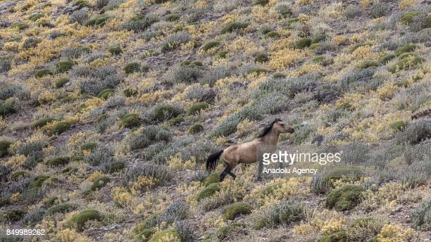 A wild horse walks at a horse sanctuary centre in Karadag district of Karaman Turkey on September 20 2017 Horses are being captured within the 'Wild...