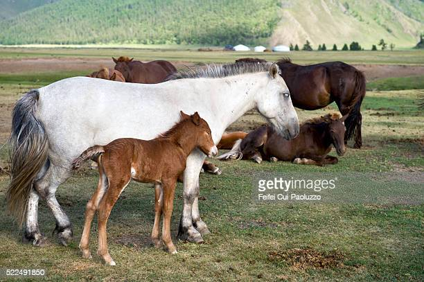 Wild horse with baby horse at Orkhon Valley in Central Mongolia
