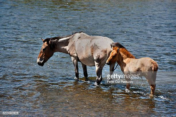 Wild horse with baby horse in the Orkhon River at Orkhon Valley in Central Mongolia