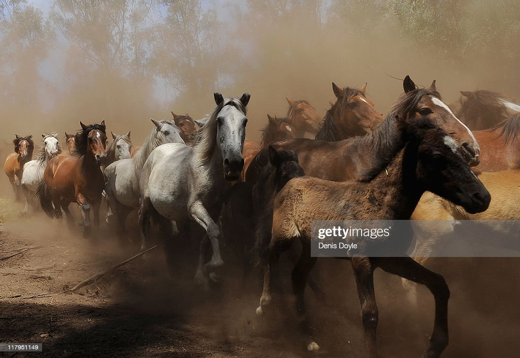 Wild horses are herded down from the mountains for the annual Rapa das Bestas (shearing of the beasts) festival on July 2, 2011 in Sabucedo, Spain. Hundreds of wild horses are rounded up from the mountains and directed into the outdoor pen to be trimmed and marked.