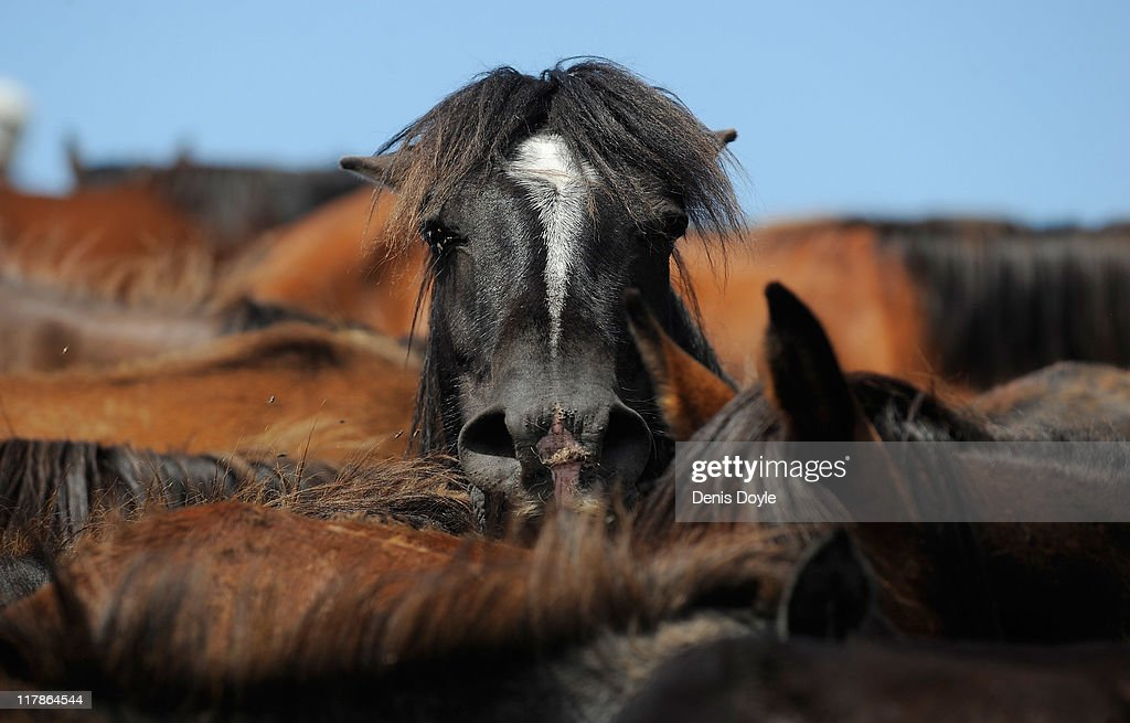 Wild horses are rounded up in the hills on the eve the Rapa das Bestas festival on July 1, 2011 in Sabucedo, Spain. Wild horses are brought down from the mountains in the festival to be tamed in Sabucedo and rerelased to the wilderness with a new micro chip attached.