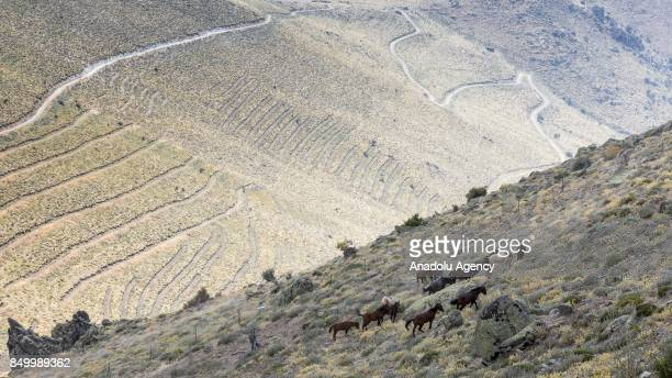 Wild horses are seen out at grass in Karadag district of Karaman Turkey on September 20 2017 Horses are being captured within the 'Wild Horses...