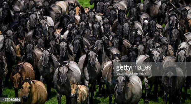 Wild horses charge into the central arena during the annual wild stallion capture at the Merfelder Bruch nature reserve on May 30 2015 near Duelmen...
