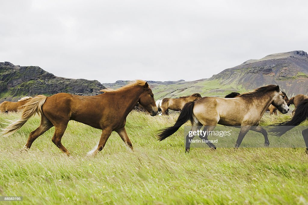 Wild horses galloping in grass